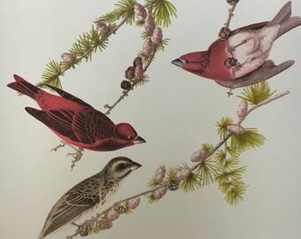 "Vintage Audubon Print, ""Purple Finch"""