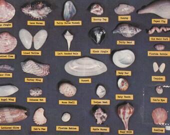 Vintage Florida Postcard - Floridian Sea Shells, Sea Shell Chart
