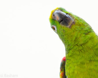 "Yellow Crowned Parrot 11x14"" Print"