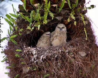 Baby Great Horned Owls in their nest - Digital Download