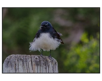 Willy Wagtail - Any Occasion Card (5x7)