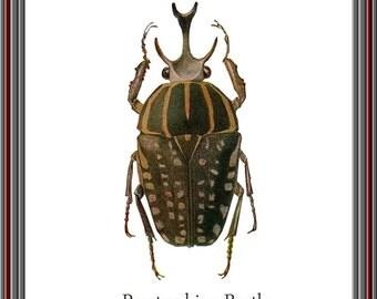 Beetle Print, Peratorrhina Beetle Print, Insect art, Insect Print, Beetle art, Vintage inspired, Encyclopedia Print, Unusual print, art