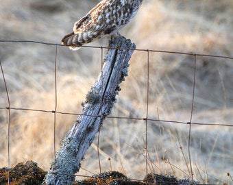 A Short eared owl resting on an old lichen covered fencepost.