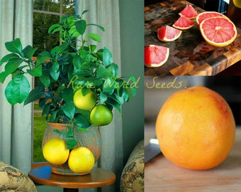 Pink Grapefruit (Citrus paradisi 'Ruby Red') grows to 1-3' in container SEEDS.