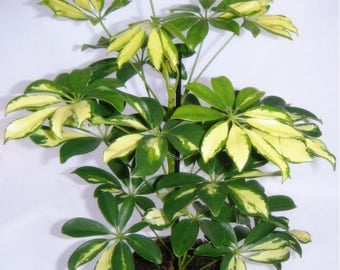 """4"""" potted VARIEGATED Schefflera Arbicola EASY 2 GROW! White Green Tropical Plant"""
