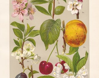 Vintage lithograph of sour cherry, almond, apricot, plum from 1911