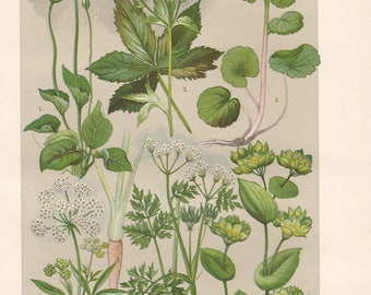 Vintage lithograph of hare's ear, parsley, chervil, marsh grass of parnassus, alternate-leaved golden saxifrage, great masterwort from 1911