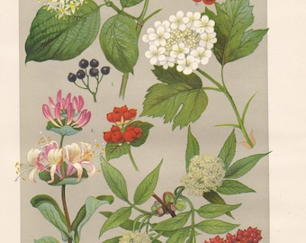 Vintage lithograph of guelder rose, italian woodbine, common dogwood, red elderberry from 1911