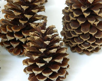 Golden Pine Cones - Natural Plant Materials - Crafting Supplies - Rustic Decor - Rustic Wedding - Christmas Decor - Kids Arts and Crafts
