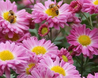 "3 Lovely chrysanthemum plants ""Sweet Dream"" very fragrance loved by bees and butterflies"