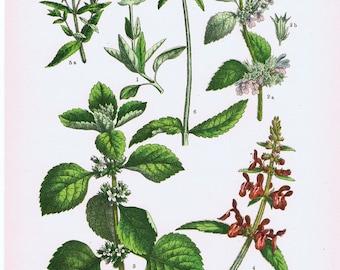 Original Botanic Print.Floral.RARE.Vintage.Antique.Genuine.1929.French.Art.Classic.Mom.Dad.angiosperm.Plant.pretty picture.eco.flower.boho