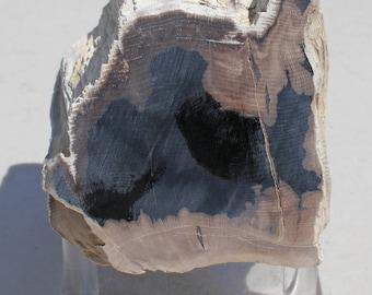 N-73   Petrified Wood Fossilized Oak Decorative Display Specimen Lapidary Rough
