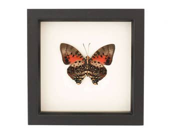Framed African Butterfly Display by Bug Under Glass