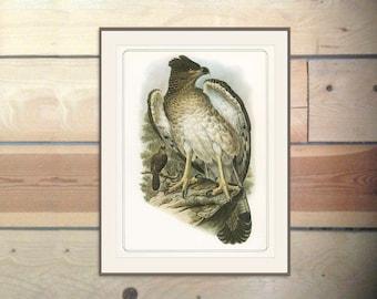 New Guinea Harpy Eagle, Vintage Bird Print 1979/101 John Gould 1870s Natural History Birds Ornithology Print Woodland Library Decor