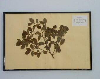 Vintage 1968 botanical specimen by Maine arborist - Winterberry