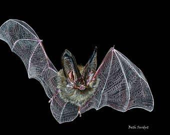 Townsend's Big-eared bat drawing