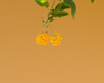 Orange Flowers Against Orange Wall