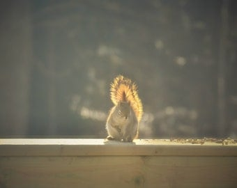 Nature Photography,red squirrel highlighted by the sun,woodland,wildlife photography,calm,peaceful artwork,adorable,nature lovers home decor