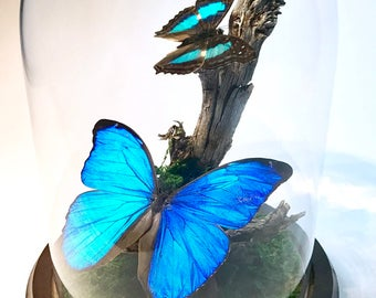 Real Blue Morpho Butterflies preserved in Glass Dome Cloche