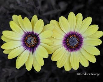 Double Yellow Flower Plant Photography, Wall Print, Botanical