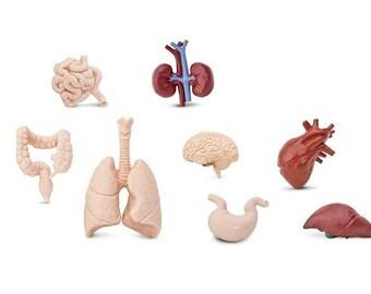 7x human organs set Miniblings plastic figure life Medicine Anatomy