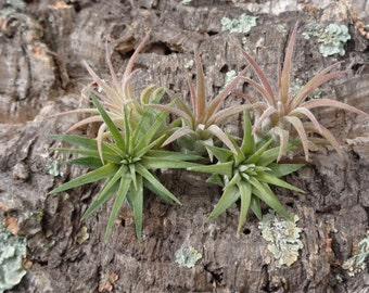 Mini Tillandsia Ionantha  Rubra 5 Pack
