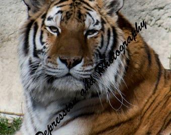 Tiger Portrait Photograph Print