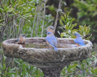 Bluebird photograph, Nature Photography, Animal Wall Art, Birds in Birdbath, Blue and Green Decor, Wildlife Art, Bluebird Picture, Cabin Art
