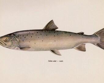SALMON Fish Print Vintage Fish Wall Art  Fish Art Print Fishing Decor Lake House Decor Salmon Fish Gift for Fisherman 2806