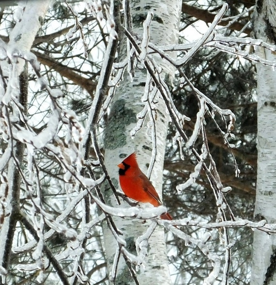 ice age cardinal ice covered tree maine ice storm white