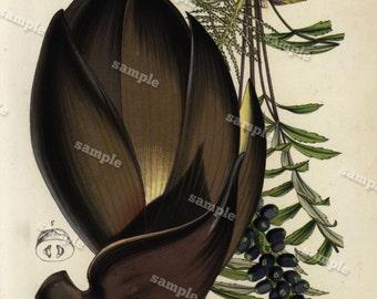 Wallichia 1852  Hand colored  Botanical  Hand Colored  Flora Lithograph Original art wall art decorative art