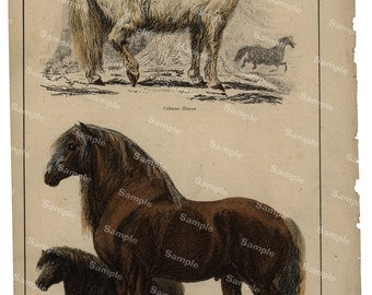 Animal Natural History original hand colored print of Ponies and horses over 150 years old Rare find
