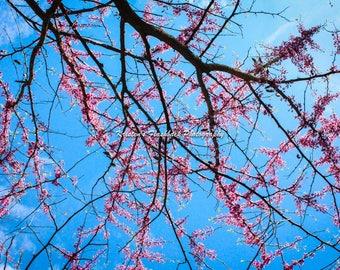 Pink Spring Michigan flowers blue sky photograph