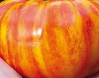 VTH) BIG RAINBOW Tomato~Seeds!!~~~~~Multi-Colored Heirloom!