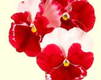 APA) DESIDERIO-ORCHID Rose Tricolor Pansy~Seeds!!!!!~~~~~~~Vivid Beauty!!!