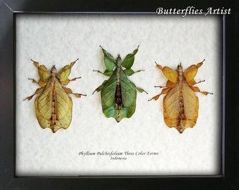 Premium Set Walking Leaf Phyllium Pulchrifolium Three Color Forms Museum Quality In Shadowbox