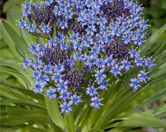 Scilla Peruviana Bulbs, Blue Peruvian lily flowers, Scilla Caribbean Jewels 'Sapphire Blue