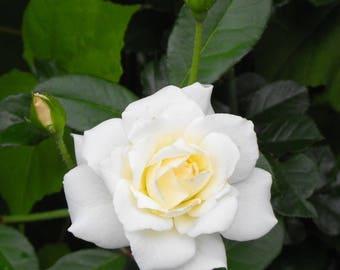 White Rose cuttings, 6 fresh cuttings @5-7 inches each; Iceberg White Floribunda Rose