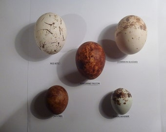 Five hollow replica British bird of prey eggs.