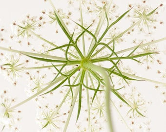 "Queen Anne's Lace greeting card - 5x7"" frameable"
