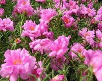 Moss Rose-  Pink- Portulaca - 200 Seeds