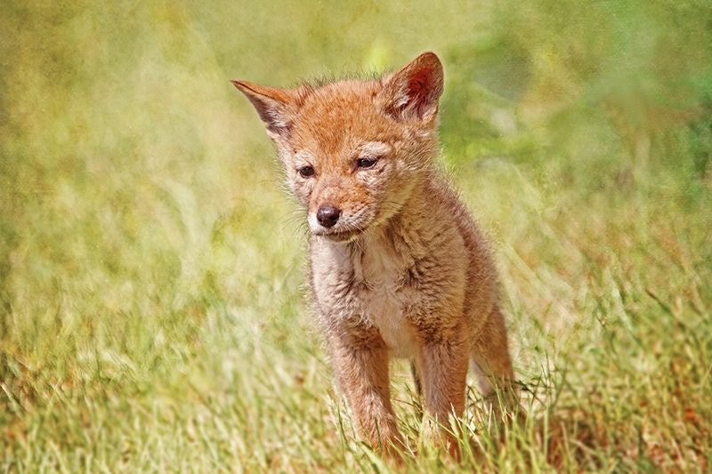 Newborn Coyote Coyote Print Baby Coyo...