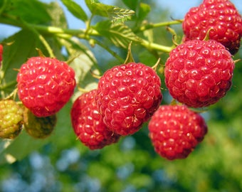 Plant a 20 Ft Row - Heritage Raspberries- Grow 24+ Canes- Pick Berries this Fall