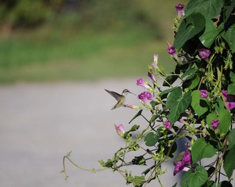Ruby Throated Hummingbird, Hummingbird Photo, Hummingbird download, Instant Download, Morning Glory Photo, Wildlife Photo, Fine Art Photo