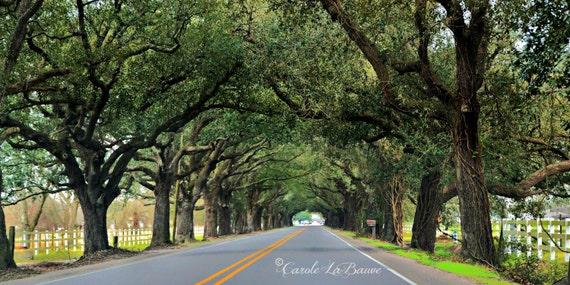 CANOPY of LIVE OAK Trees ~ Back Roads of Louisiana ~ Farm Land, Fences and Country Roads ~ Travel Louisiana Photography ~ 12x18 format
