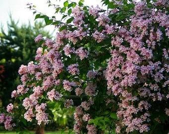 Beauty Bush Seeds (Kolkwitzia amabilis) 25+Seeds