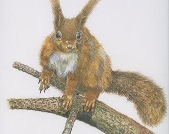 Red Squirrel - Irish Wildlife Collection, Giclee Print