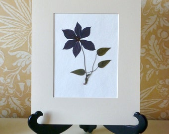 Real Pressed Flower Art Botanical Herbarium of Purple Clematis 11x14 Matted