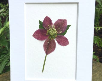 Real Pressed Flower Art Botanical Herbarium of Oriental Hellebore Lenten Rose 5x7