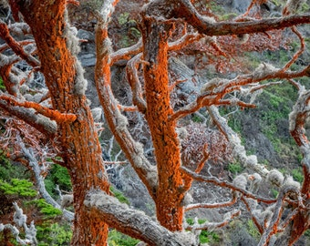 Trentepohlia Orange - point lobos,cypress tree,algae,lichen,california,home decor,office decor,branches,earth tones,carmel,coastline,nature